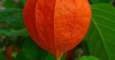 Physalis lamion plant