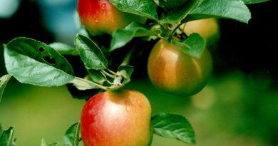 appelbomen in tuin planten
